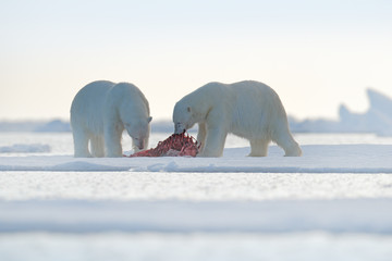 Two polar bears with killed seal. White bear feeding on drift ice with snow, Svalbard, Norway. Bloody nature with big animals. Dangerous baer with carcass. Arctic wildlife, animal food behaviour.