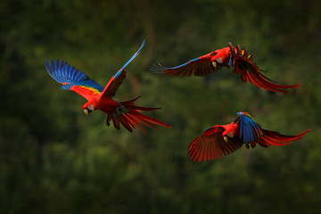 Macaw parrot flying in dark green vegetation with beautiful back light and rain. Scarlet Macaw, Ara macao, in tropical forest, Costa Rica. Wildlife scene from tropical nature. Red in forest. Fotomurales