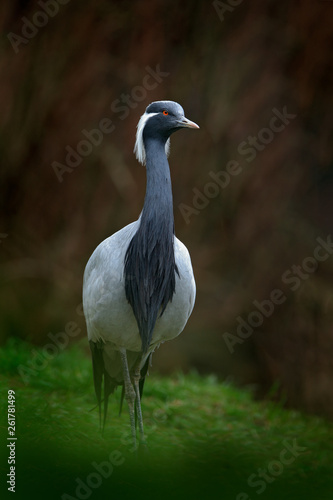 Demoiselle Crane, Anthropoides virgo, bird hidden in the