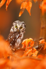 Owl hidden in the orange leaves. Boreal owl with big yellow eyes in the autumn forest in central Europe. Detail portrait of bird in the nature habitat, Germany.