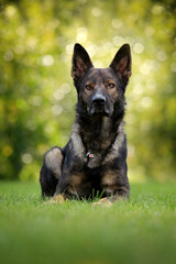 German Shepherd Dog, is a breed of large-sized working dog that originated in Germany, sitting in the green grass with nature in background.