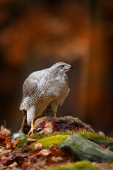 Animal behaviour, wildlife scene from nature. Goshawk in the orange vegetation.Goshawk, Accipiter gentilis, feeding on killed hare in the forest. Bird of Prey with fur catch in the habitat.