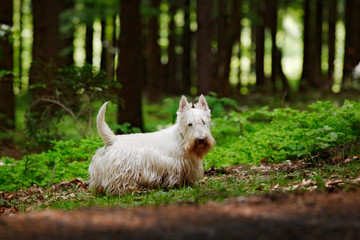 Cute dog lost in the dark forest. White Scottish terrier, sitting on gravel road with green leaves during spring, tree forest in background. Home animal pet in the wild nature, Czech, Europe.