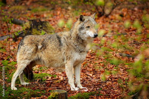 Gray wolf, Canis lupus, in the spring light, in the forest
