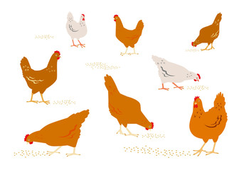 Color graphic set, collection, drawn rural hens or chickens, walking in differents poses, pecking grain. Vector illustration, isolated on white background.