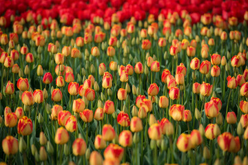 Copious amounts of vibrant red and yellow spring tulips blooming