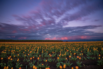 Purple and pink sunset sky in motion over giant filed of vibrant spring tulips