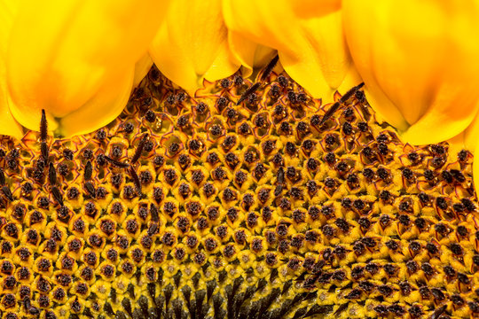 Nahaufnahme einer Sonnenblume, Makro