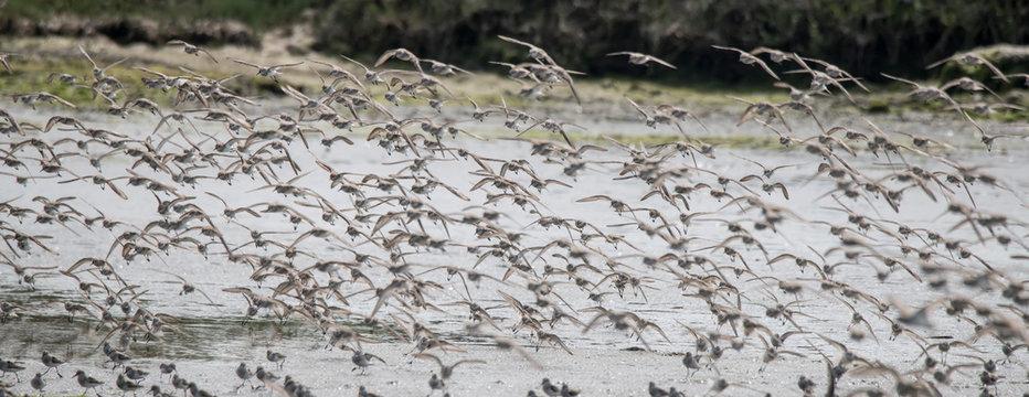 Western Sandpipers in Flight