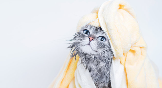 Funny smiling wet gray tabby cute kitten after bath wrapped in yellow towel with big blue eyes. Pets and lifestyle concept. Just washed lovely fluffy cat with towel around his head on grey background.