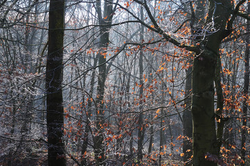 view into beech forest on winter morning
