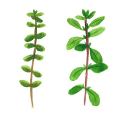 Branch of herb, marjoram, hand drawn watercolor illustration isolated on white