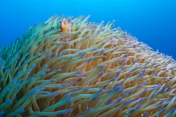 A Pink anemonefish, Amphiprion perideraion, swims among the tentacles of its host anemone in Palau.