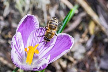 pszczoły zbierające nektar z kwiatu krokusa