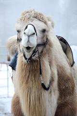 ein Kamel von vorne