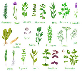 Set of green herbs, hand drawn watercolor illustration isolated on white. Dill, basil, laurel, chives, onion, oregano, parsley, rosemary, sage, marjoram, horseradish, mint, fennel, coriander, estragon