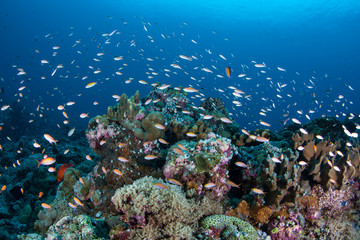 Vibrant corals and fish thrive on a current-swept coral reef in the Republic of Palau.