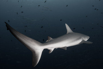 A Grey reef shark, Carcharhinus amblyrhynchos, swims in Palau.