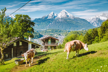 Wall Mural - Idyllic alpine scenery with mountain chalets and cows grazing on green meadows in springtime