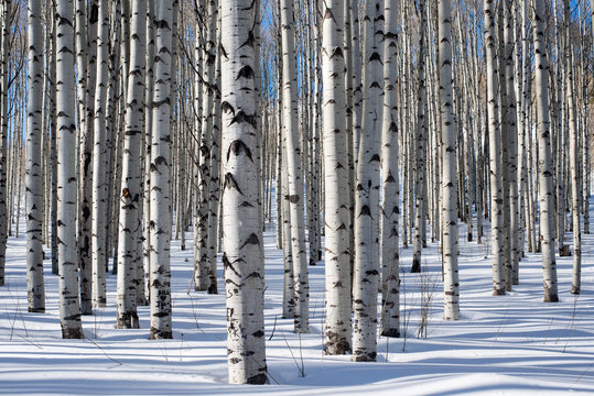 White aspen trees tower into the sky. Shot with a wide angle lens for exaggerated effect. The leafless winter trees play perfect contrast against the crisp blue winter sky