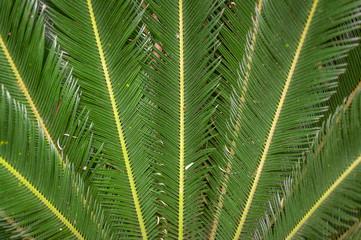 Folhas de uma palmeira