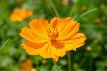 Yellow Cosmos, fresh flower of Sulphureus