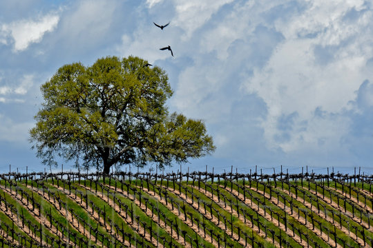Oak Tree in vineyard, San Luis Obispo County, California