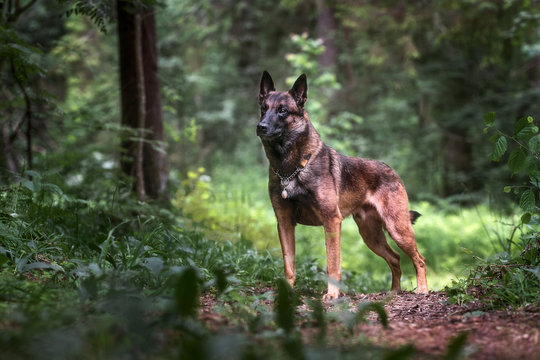 Belgian malinois in green forest
