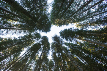 Forest canopy of dense spruce forest against blue sky, unique view from below.