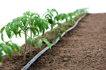 Tomato plants in a greenhouse and drip irrigation sistem - selective focus, white background