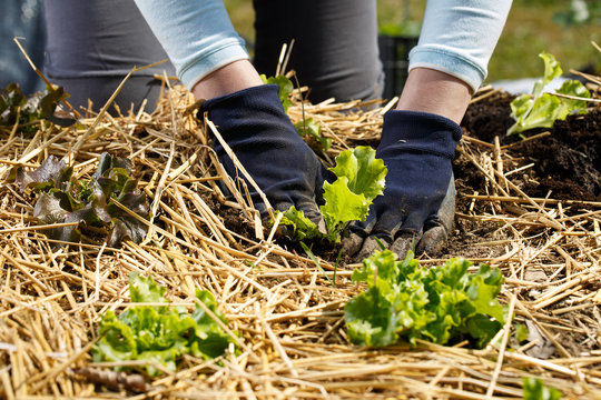 Gardener planting lettuce seedlings in freshly ploughed and straw mulched garden beds.