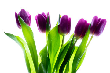 Bouquet (bunch) of beautiful purple (violet) tulips isolated on white background with backlight.