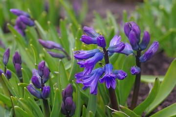 Blue hyacint flowers in the garden
