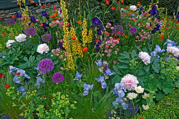 Close up of a mixed flower border with Verbascum, Iris's and Peonies