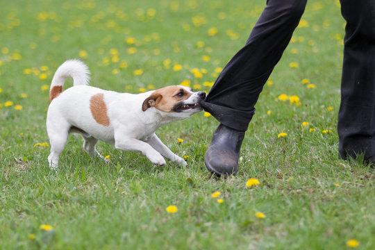 Jack Russel Terrier beißt in ein Hosenbein und lässt nicht mehr los