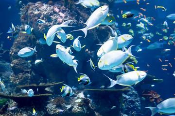 Blurry photo of a yellowfin surgeon fish Cuvier's surgeonfish in a sea aquarium
