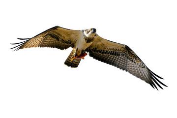 Flying eagle. Isolated bird. Bird of prey. White background. Bird: Western Osprey. Pandion haliaetus. Fototapete