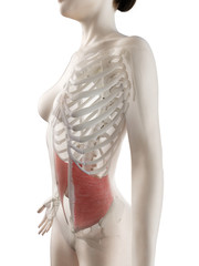 3d rendered medically accurate illustration of a womans Internal Oblique muscle