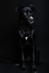 Black dog in a dark background
