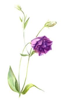 Light purple flower eustoma or lisianthus