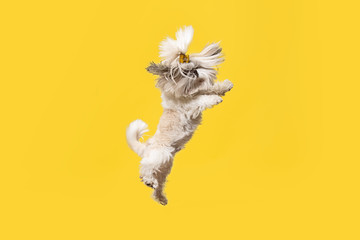 Shih-tzu puppy wearing orange bow. Cute doggy or pet is jumping isolated on yellow background. The Chrysanthemum Dog. Negative space to insert your text or image. Wall mural