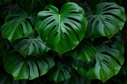 Large green monstera leaves on a dark background