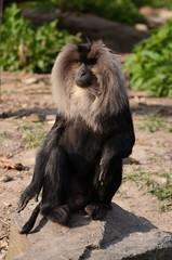 Acrylic Prints Kangaroo Lion Macaque, Black Little Captive Monkey
