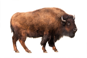 Spoed Fotobehang Buffel bison isolated on white