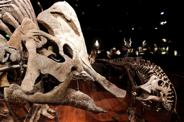 Two massive skeletons of Hypacrosaurus dinosaurs, staged in a family scene, the adult and the child lived during the Upper Cretaceous (72-70 million years) in Montana, are displayed before a sale by Binoche et Giquello auction house in Paris