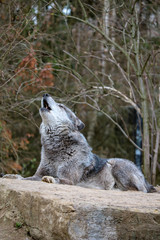 a howling wolf in northern Germany