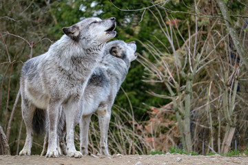 two howling wolfs in northern Germany