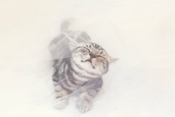 British Shorthair Cat Playing With White Tulle