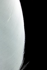 Macro Close Up Of White Feather on Black Background