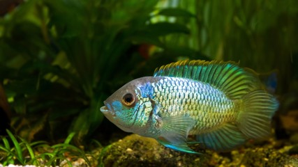 freshwater spectacular cichlid Nannacara anomala neon blue male in spawning coloration guarding eggs, side view